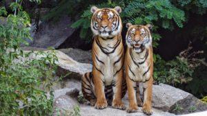 Tiger-enclosure-wildlife